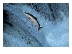 458447red-salmon-swimming-upstream-katmai-ak-posters.jpg